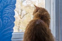 Fluffy cat with red fur sits on the windowsill. And looks out the window against the blue curtain royalty free stock photos