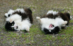 Fluffy cat roll over. Animal behavior series. Composite image of a fluffy black and white cat rolling over on the path royalty free stock images