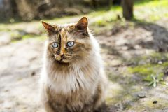 Fluffy cat sit outddors Stock Photography
