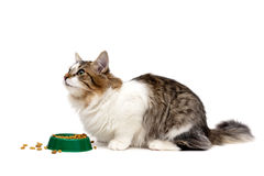 Fluffy cat sits beside a bowl of food on a white background Stock Photo