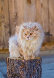The fluffy cat sits on a stub Stock Images