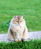 Fluffy cat sits  in summer park Royalty Free Stock Photo
