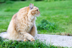 Fluffy cat sits in summer park Royalty Free Stock Photography