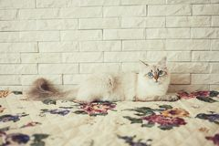 Fluffy cat sitting on the bed Stock Image