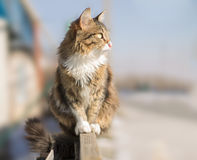 Fluffy cat sitting on a fence in winter Stock Images