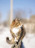 Fluffy cat sitting on a fence in winter Royalty Free Stock Photo