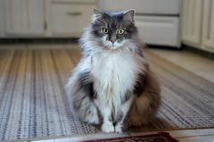 Fluffy cat sitting on grey striped carpet royalty free stock photo