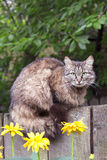 Fluffy cat sitting on a wooden fence Royalty Free Stock Photo