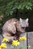 Fluffy cat sitting on a wooden fence Stock Photography