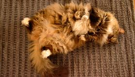 Fluffy cat. Sleeping on back with alot of hair Royalty Free Stock Photography