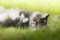 Fluffy cat sleeping on grass in sunshine Stock Images