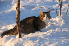 Fluffy cat sneaking through the snow. Royalty Free Stock Image