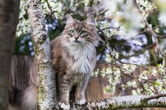 Fluffy cat in spring. Cute fluffy cat sits on blooming plum tree in spring season Royalty Free Stock Photos