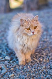 The fluffy cat stay on a stones Royalty Free Stock Photography
