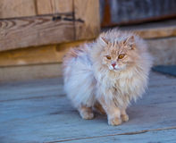 The fluffy cat stay on a wood Royalty Free Stock Images
