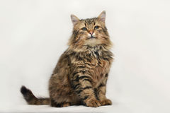 Fluffy cat Stock Images