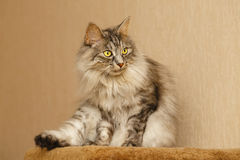 Fluffy cat. Sweet fluffy cat licking itself. Pets. Hypoallergenic breed of cats Stock Images