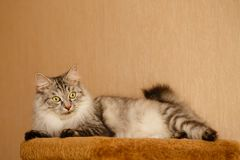 Fluffy cat. Sweet fluffy cat lies. Pets. Hypoallergenic breed of cats Royalty Free Stock Photo