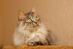 Fluffy cat. Sweet fluffy cat portrait. Pets. Hypoallergenic breed of cats Royalty Free Stock Images