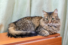 Fluffy cat on the table. Big fluffy cat is impressively lying on the table Stock Images