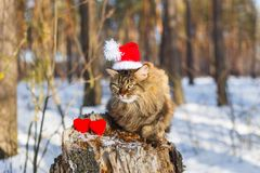 Fluffy cat for Valentine`s Day in the winter forest stock images