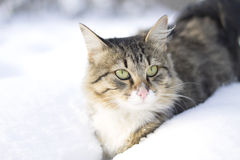 Fluffy cat walking on snow Royalty Free Stock Image