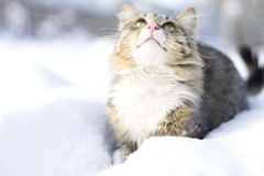 Fluffy cat walking on snow Royalty Free Stock Photo