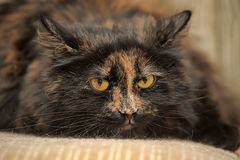 Fluffy cat Royalty Free Stock Image