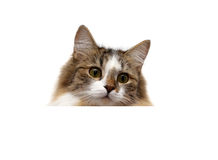 Fluffy cat on a white background sits behind a white banner Royalty Free Stock Photos