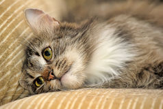 Fluffy cat with white paws Stock Images