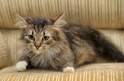 Fluffy cat with white paws Royalty Free Stock Image