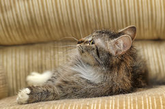 Fluffy cat with white paws Stock Photography