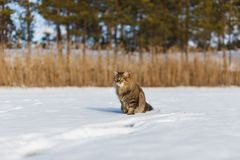 Fluffy cat in the winter in the snow royalty free stock photos