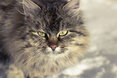Fluffy cat in the winter on white snow. With yellow beautiful eyes Stock Images