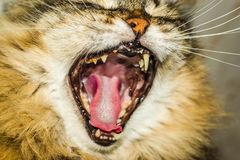 Fluffy the cat is yawning royalty free stock images