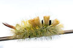 Fluffy catepilar. Some nice yellow-green catepilar what I catch in the street Royalty Free Stock Image