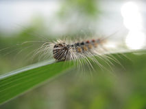 Fluffy caterpillar. In leaf Stock Photos