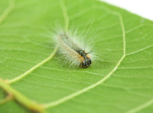 Fluffy caterpillar crawling on leaf Royalty Free Stock Image