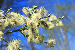 Fluffy catkins on the willow. The flowering willow in early spring in the forest Royalty Free Stock Images