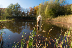 Fluffy cattail Royalty Free Stock Photos