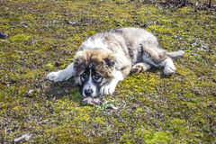Fluffy Caucasian shepherd dog is lying on the ground Stock Photography