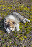 Fluffy Caucasian shepherd dog is lying on the ground Stock Images