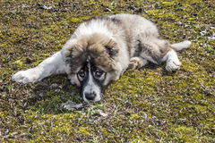 Fluffy Caucasian shepherd dog is lying on the ground Stock Photos