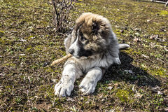 Fluffy Caucasian shepherd dog is lying on the ground Royalty Free Stock Images