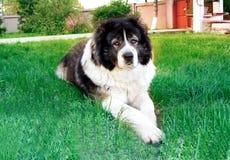 Fluffy Caucasian shepherd dog is lying on the ground. Adult Cau Royalty Free Stock Photos