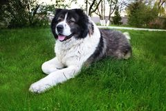 Fluffy Caucasian shepherd dog is lying on the ground. Adult Cau Royalty Free Stock Photo