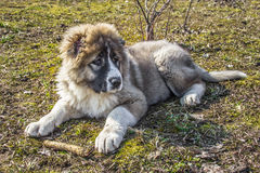 Fluffy Caucasian shepherd dog is lying on the ground and gnawing.  royalty free stock photo