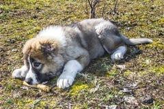 Fluffy Caucasian shepherd dog is lying on the ground Stock Photos