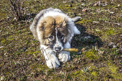 Fluffy Caucasian shepherd dog is lying on the ground and gnawing the stick.  Stock Photography