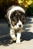 Fluffy Caucasian shepherd dog in the yard royalty free stock photos